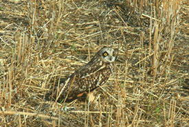 The ground nesting, short-eared owl spotted from the cab of Bruce's tractor. Bruce stopped his tractor, found the nest, and saved the eggs because he could identify the bird and knew its ecology. (Photo by Bruce Boldt)