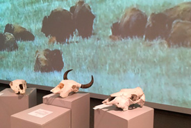 Skull display at the exhibit. (Photo by Bill Armstrong)