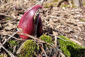 Skunk cabbage (Photo by alixdentremont, CC BY NC 4.0)