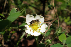 A small andrenid bee sheltering in a wild strawberry flower (Photo by Marika Olynyk)
