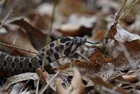 Eastern hog-nosed snake (Photo by NCC)