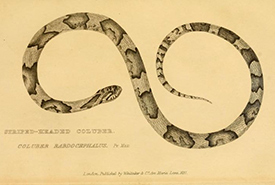 A drawing of a snake (Photo by Darwin Online)