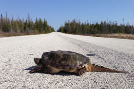 Snapping turtle on road (Photo by Tricia Stinnissen)