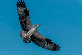 An osprey soars around its nest (Photo by Lorne)