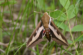 Sphinx moth (Photo © Manitoba Museum)