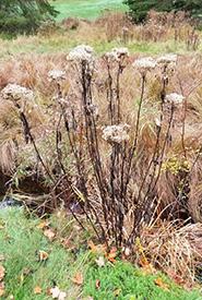 Spotted Joe pye-weed (Photo by sturgus, CC BY-NC 4.0)