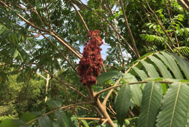 Staghorn sumac with a cluster of red, hairy berries (Photo by Kaelem Moniz)