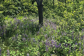 Sundial lupine in the oak savannah (Photo by NCC)