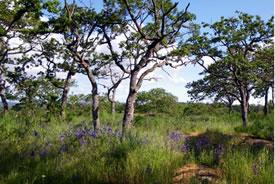 A sunny Garry oak savannah (Photo by Jenny McCune)
