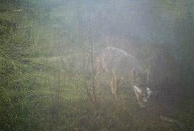 Coyote caught on wildlife camera (Photo by BCIT)