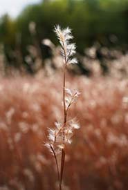 Grasses in tall grass prairies can grow 1.5-2m tall (Photo by NCC)