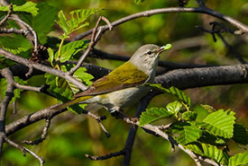 Tennessee warbler (Photo by Ronda Groom CC BY-NC)