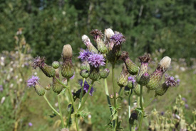 Thistles (Photo by NCC)