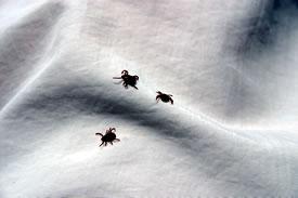 Ticks (Photo by Diana Bizecki Robson)