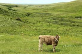 Top Grass Beef Ranch, AB (Photo by Mara Erickson)