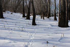 Tracks in the forest of NCC's Lincoln Wetland Nature Reserve in New Brunswick (Photo by NCC)