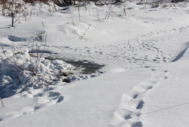 Small mammal tracks in the snow (Photo by NCC)