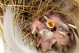 Recently hatched tree swallows (Photo by NCC)