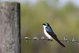 A tree swallow sits on a barbed wire fence (Photo by Lisha Berzins)