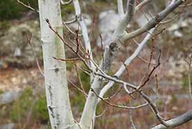 Trembling aspen (Photo by Ronald G. Arsenault, CC BY-NC 4.0)
