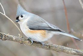 Tufted titmouse (Photo by Jocelyn Anderson, Wikimedia Commons)