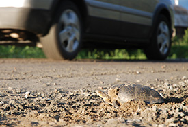A turtle on the roadside with a car speeding by it. (Photo by NCC)