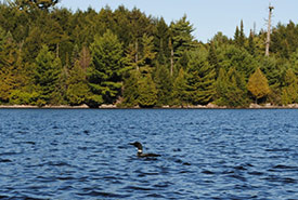 Up close and personal with a loon in Algonquin Provincial Park (Photo by Gabhan Chalmers).