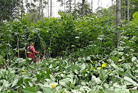 Volunteer cutting the giant knotweed using a hedge trimmer (Photo by NCC)