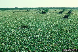 An infestation of water lettuce. (Photo courtesy of USDA Agricultural Research Service, Bugwood.org)