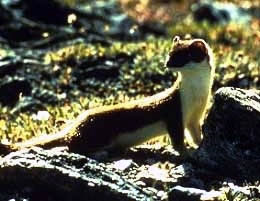 Weasel (Photo by Wikimedia Commons, U.S. National Parks Service)