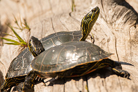 Western painted turtles (Jason Headley, CC-BY-NC)