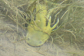 Lemon-yellow prehistoric-looking creature that I later found out to be a western tiger salamander (Photo by Sherry Nigro)