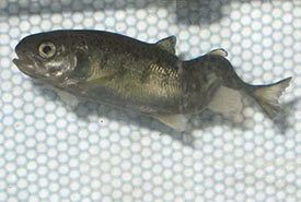 Whirling disease can cause a severe spinal deformity in infected fish (Photo by Colorado Parks and Wildlife)