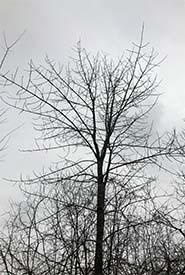 White ash silhouette (Photo by Dan Kraus/NCC staff)