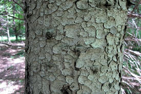 White spruce bark (Photo by Rob Duval, Wikimedia Commons)