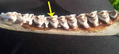 White-tailed deer jawbone, showing dentine that is narrower than the enamel in the first molar (see arrow) (Photo by Claire Elliott/NCC staff)