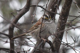 White-throated sparrow (Photo by Pia Vahabi/NCC staff)
