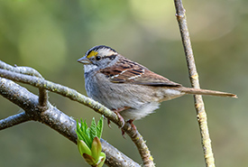White-throated sparrow (Photo by Becky Matsubara, CC-BY)