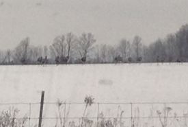 A large group of wild turkey gobbling away from us as we looked on from the warmth of the car (Photo by Kristyn Ferguson/NCC staff)
