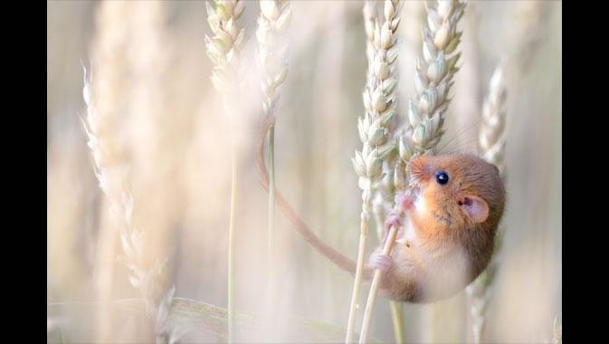 Harvest Gold (Photo by Etienne Francey, Switzerland)