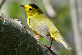 Wilson's warbler (Photo by Rosemary Mosco)