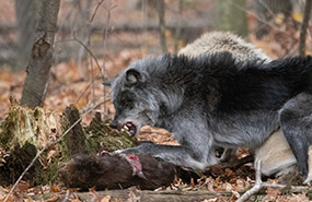 Wolf and its kill (Photo by Mhairi McFarlane/NCC staff)