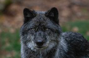 Wolf (Photo by Mhairi McFarlane/NCC staff)