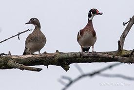 A pair of wood ducks (Photo by Mhairi McFarlane/NCC)