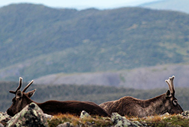 Woodland caribou at the summit of Mont Jacques-Cartier (Photo by Zack Metcalfe)