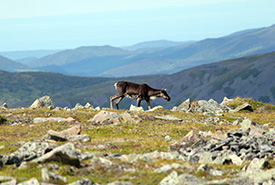 Woodland caribou at the summit of Mont Jacques-Cartier, tallest among the Chic Choc Mountains of Gaspésie National Park, QC. (Photo by Zack Metcalfe)