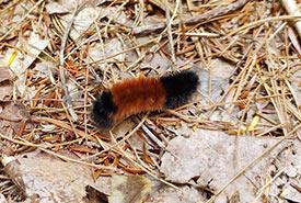 Woolly bear caterpillar (Photo by Noah Brian Johnson, CC BY-NC 4.0)