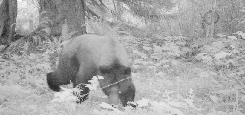 This image of a bear was taken with a trail camera in Wuikinuxv (Photo by NCC)