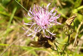 Yellow-banded bumble bee (Photo by Amanda Liczner)