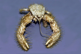 Yeti crab (Photo by Andrew Thurber/Wikimedia Commons)